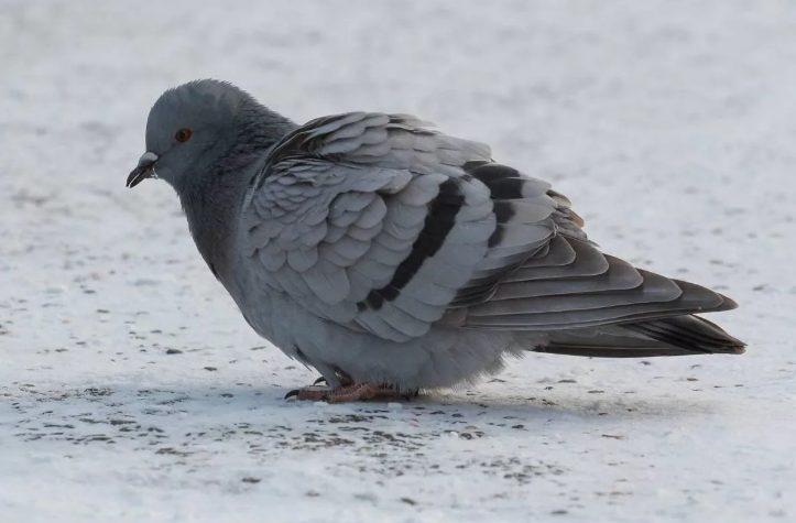 Охоту на голубей и ворон легализовали в Самаре. Не отменят ли ее снова?