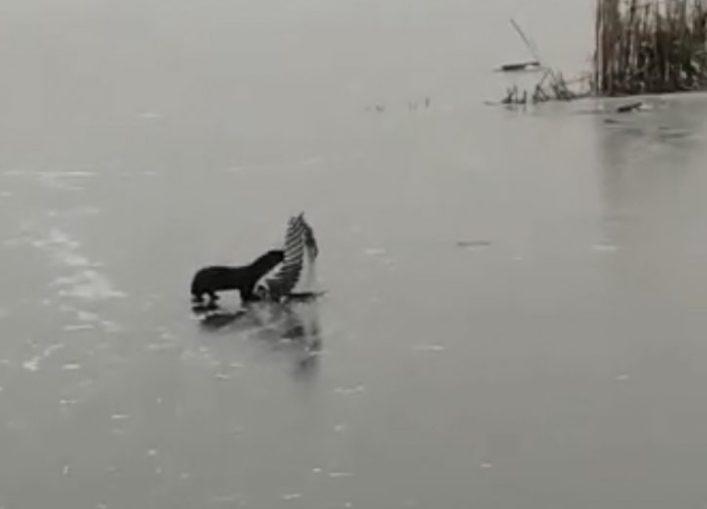 Рыбаков обокрала черная лесная воришка