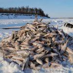 Рыбалка в январе будет вам в радость, если соблюдать ряд определенных рекомендаций. Как рассказали специалисты, в январе для эффективной рыбалки осталась лишь неделя, даже чуть меньше. Но успех будет зависеть не только от везения в эти дни, но от умения рыбака, от правильно подобранной наживки, правильного места. Правильное место – это то, где рыба «живет» даже в зимние холода. Но кроме этих основ рыбалки, успешная рыбалка зависит еще и от дней, в которые вы отправляетесь на водоем. Если опираться на лунный календарь, то рыбаки знают, что в январе этого года для клевной рыбалки осталось лишь несколько дней. Среди рыбаков бытует мнение, что в такие дни рыбу ловить и не нужно: она сама прыгает в ведро рыбака. Так, самый лучший клев придется в дни с 27 по 31 января. Так, чтобы не упустить возможность продуктивно провести время на водоеме, запаситесь правильной приманкой и наживкой. Средний клев придется на 20, 24 и 26 января. Средний клев – это еще не провал, так, что удачу испытать стоит попробовать. А вдруг именно в этот день вы поймаете свой трофей. Удачи Вам, дорогие рыбаки, в самые клевные дни января!
