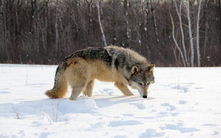 В 2019 году был добыт 171 волк на территории Прикамья