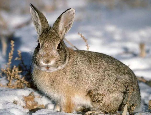 В зайца-русака больше не стреляют на Ставрополье