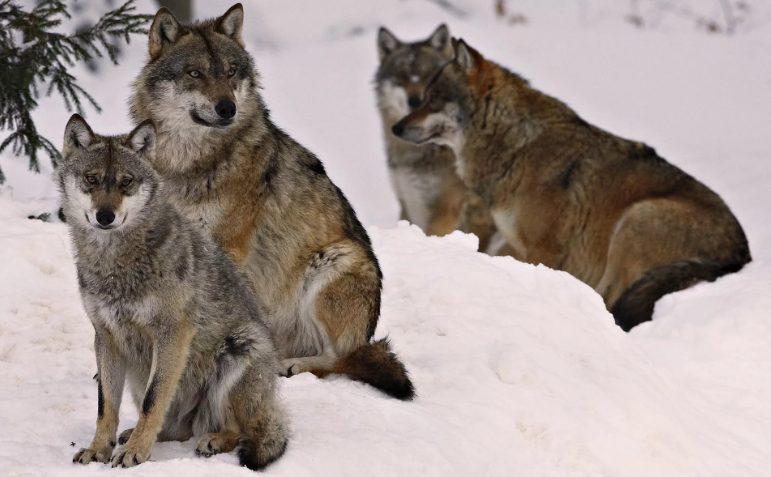 Волка в Красноярске отстреливают в неопределенном количестве