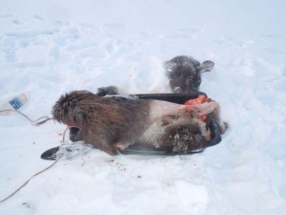 Задержан браконьер, который убил лося в Самарской области