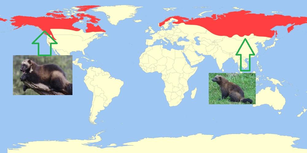 Ареал и места обитания росомахи