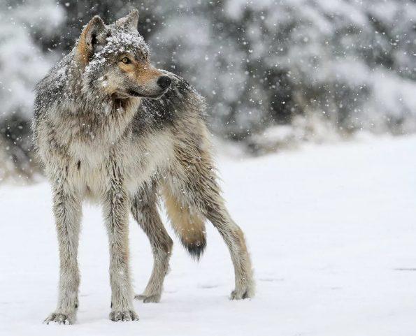 Четыре волка уже убито в Перми в этом году