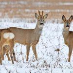 Косуль от вездесущих браконьеров будут спасать беспилотники