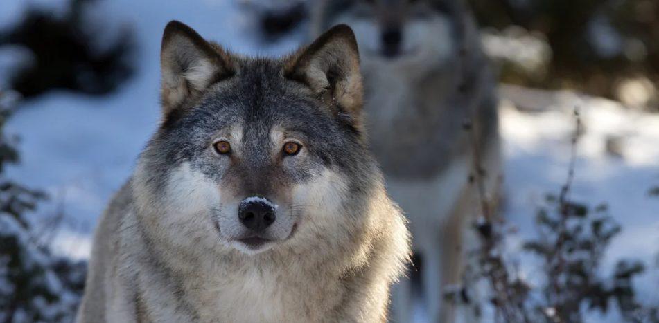 Не волки наступают на Казахстан, а наступает Фейк!