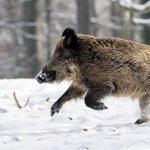 Охота на кабана введена в экстренном порядке из-за чумы