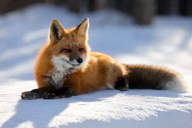 Охота на лис в Тамбове проводится в экстренном порядке