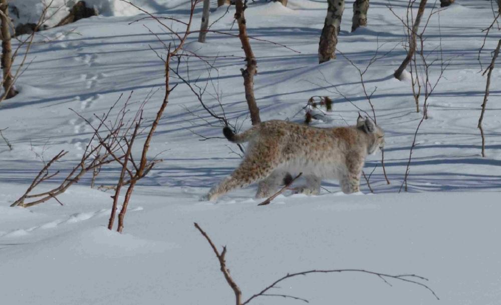 Охота на рысь