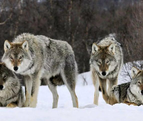Охота на волков в Коми все еще продолжается и показывает хорошие результаты