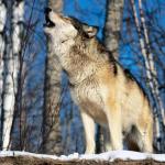 Пятая часть прикамских волков уже добыта