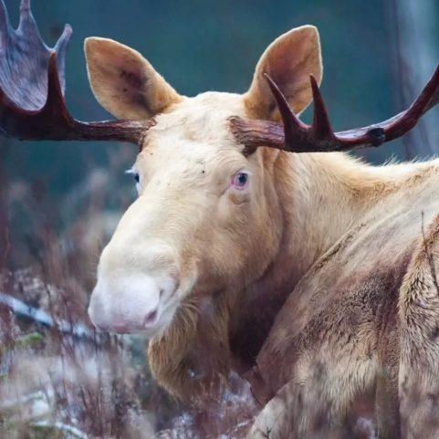 Редкие лоси были замечены в вологодском лесу