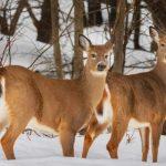 Саратовский браконьер покусился на жизнь косули
