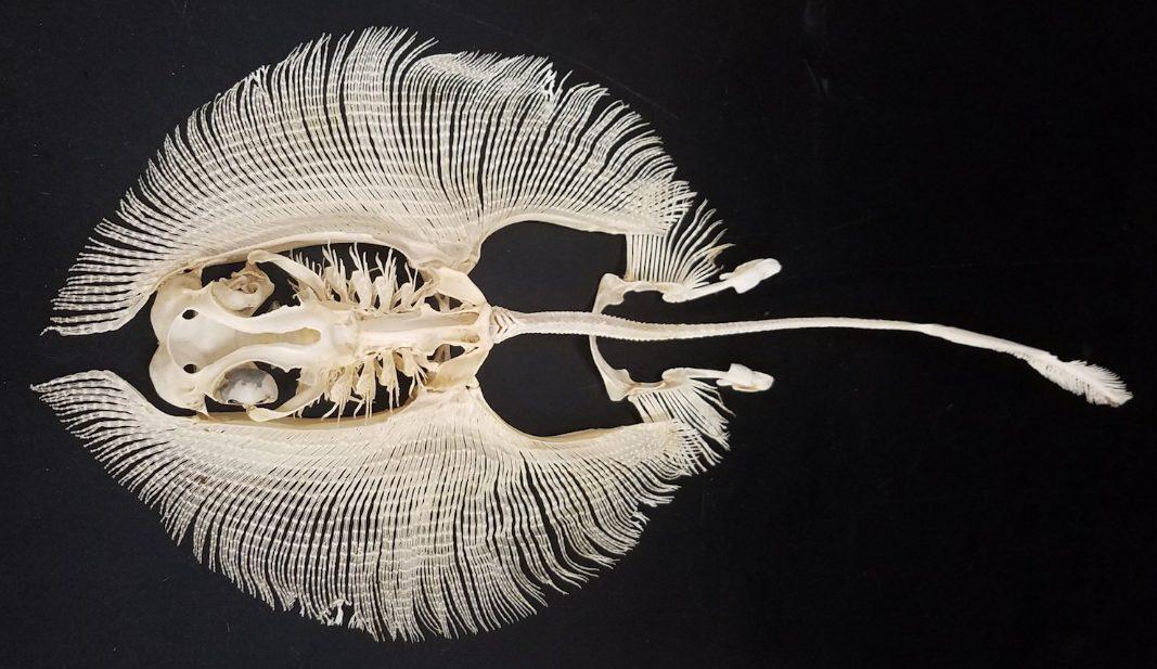Скаты и 7 самых  удивительных фактов об этой рыбе