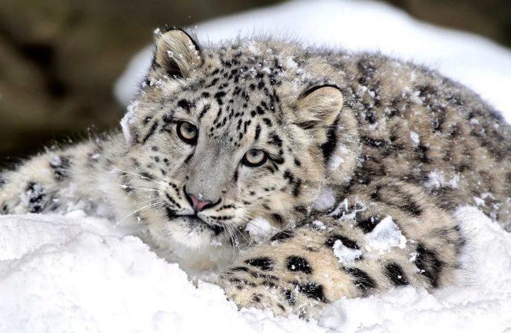 Снежных барсов в Бурятии будут считать по лапам и когтям