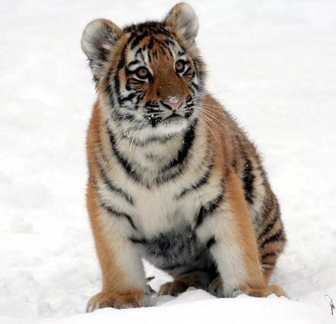 Тело погибшего тигренка обнаружили вблизи лесной дороги