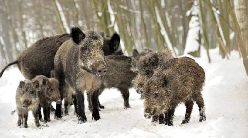 В Приморье африканская свиная чума набирает обороты