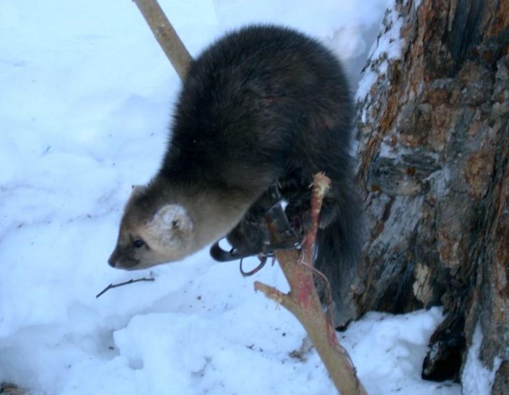 Охота на соболя
