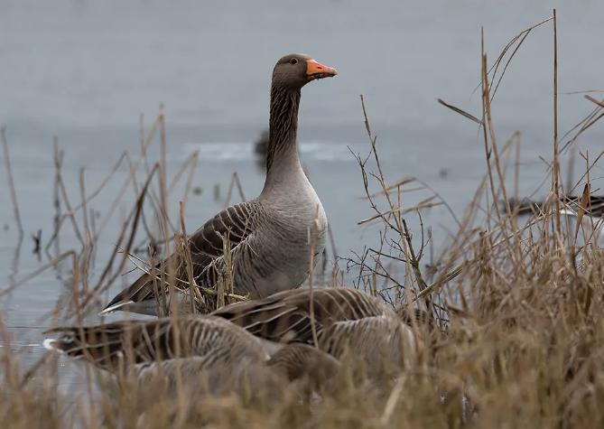 Сроки весенней охоты уже установлены в Калужской области