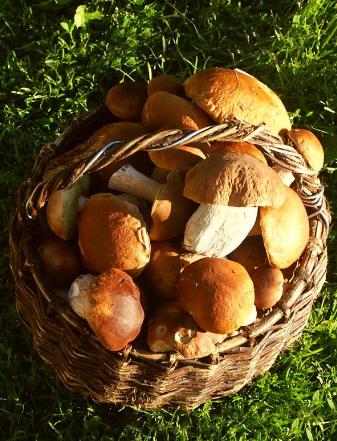 Грибники Ленинграда идут в леса за белыми грибами