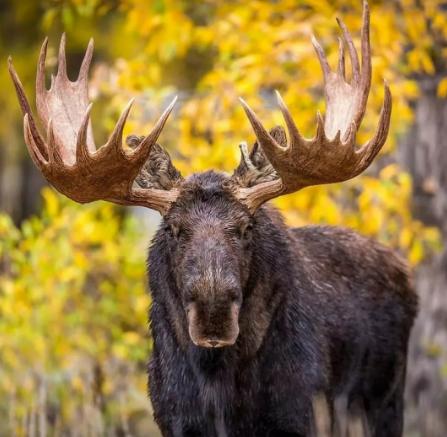 Браконьер убил лося в тверском лесу