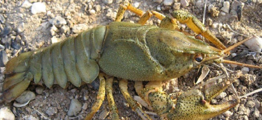 Как наловить раков в озере или реке голыми руками - не нарушая закон!