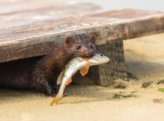 Любопытная норка решила стать предметом воздыхания рыбака – фотографа