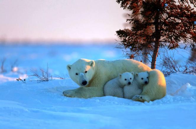 Медведица и два ее детеныша вышли в поселения к людям