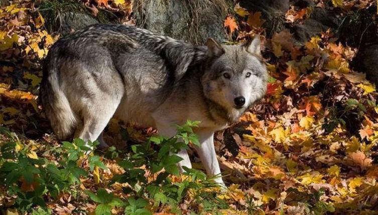 Охота на волка открывается для кировских охотников