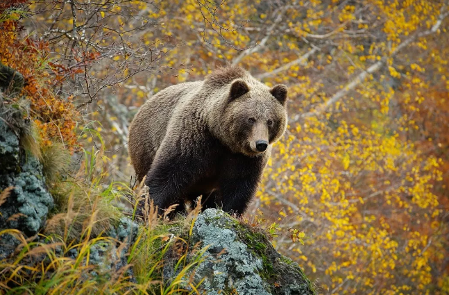 В медведей на Камчатке стреляют не только массово, но и законно