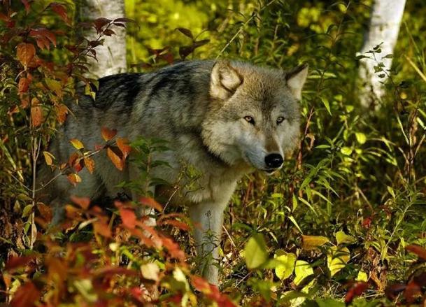 Волков в Кировской области добывают местные охотники