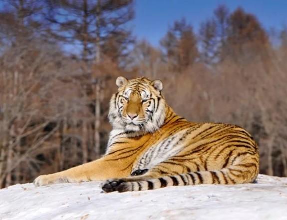 Амурский тигр погиб в Хабаровске