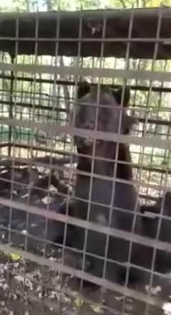 Грибники нашли в лесу медведя на грани смерти, запертого в клетке