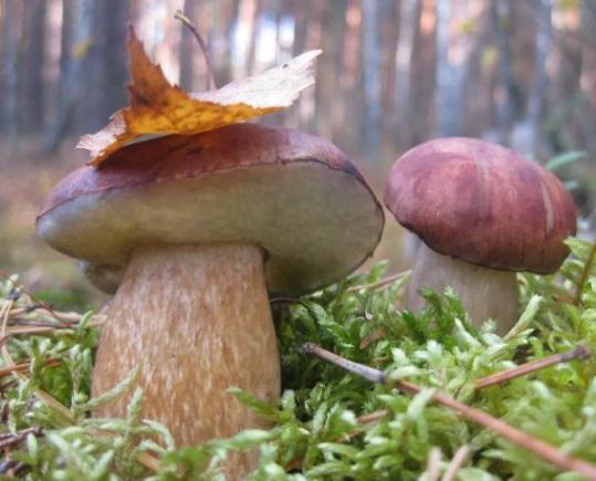 Из-за грибов умер в Подмосковье ребенок