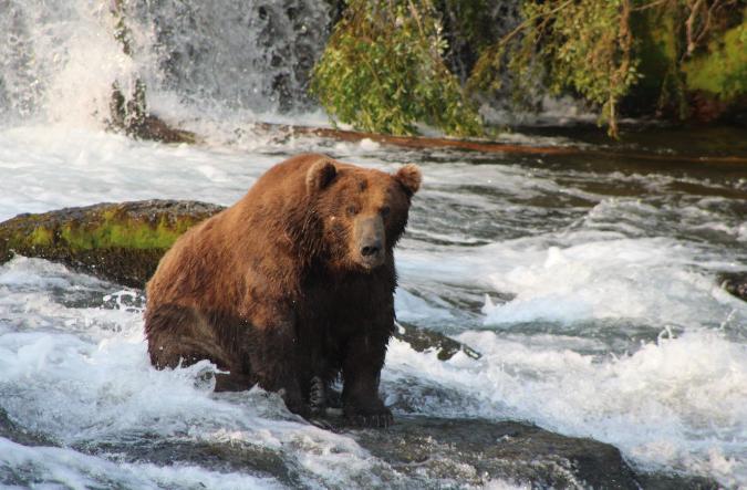Самый большой медведь Аляски откормился лососем