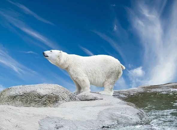 Шкура белого медведя стала причиной уголовного дела