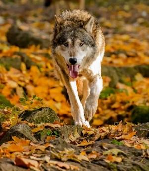 Волк напал на человека в Астраханской области