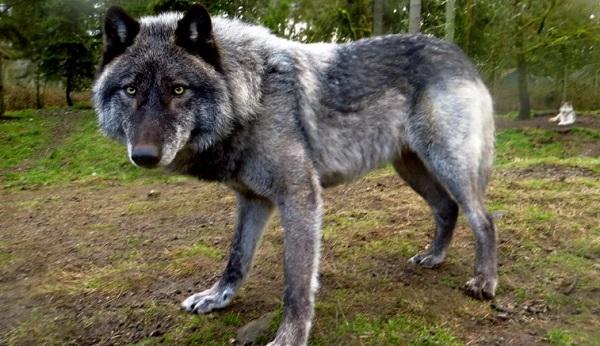 Волки в Смоленской области будут отстреливаться специальными охотниками