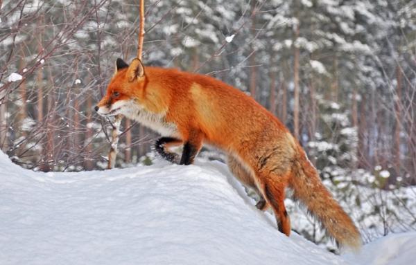 Лиса вышла на охоту в Челябинской области