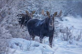 Охотники незаконным путем добыли двух лосей в Кузбассе и скрылись