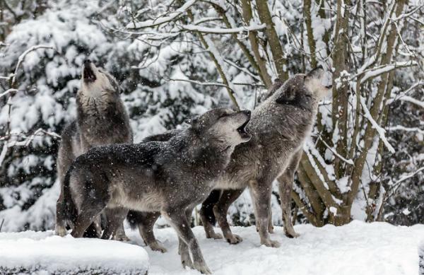 Волки атаковали деревни и села Верхнетоемского района