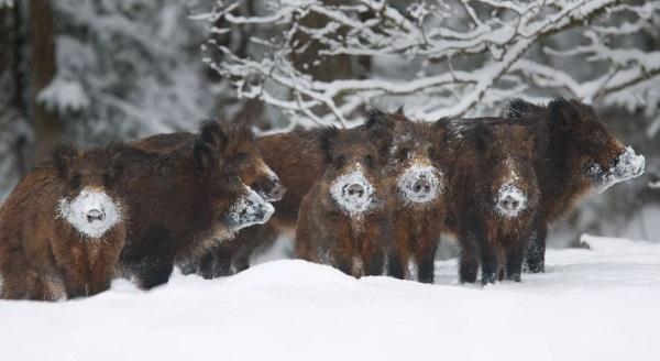 Охота в тамбовских лесах на диких кабанов стартовала