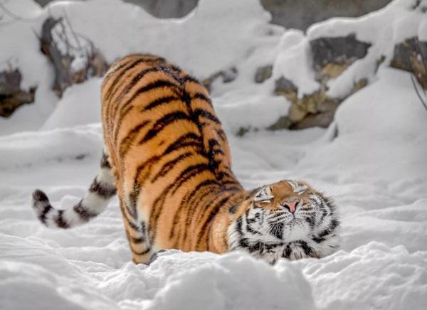 Тигр хулиганил в селениях Приморского края