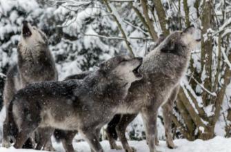 Охота за хищниками в Красновишерском районе Перми в самом разгаре