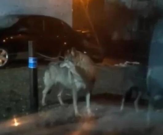 Количество волков в Пскове идет к критической отметке опасности