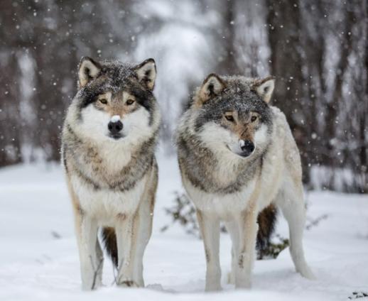 Количество волков в Твери стало снижаться к норме