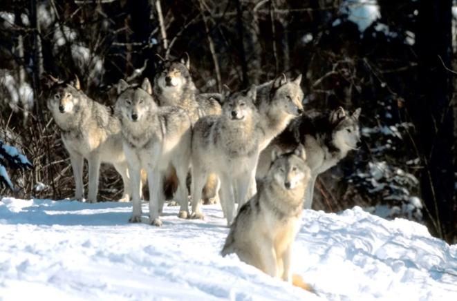 На охоту за волками вышли егеря Костромской области