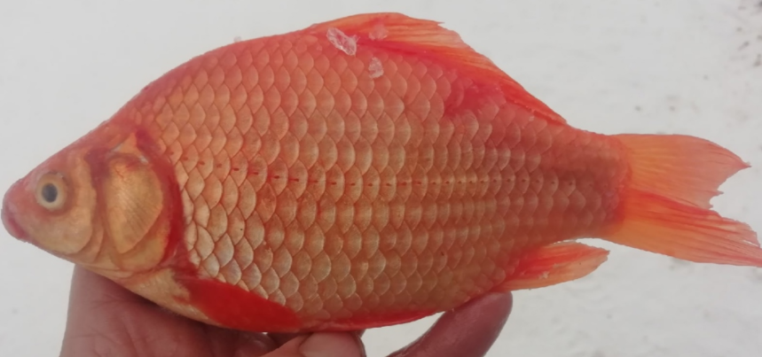 Рыбак и Омской области поймал настоящую золотую рыбку, только не волшебную
