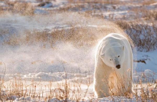 Арктические медведи привыкают к новым условиям жизни